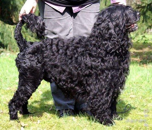 Водяная собака из Португалии