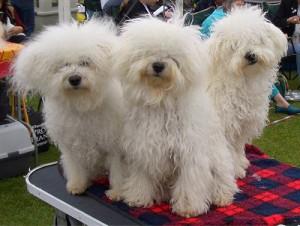 Болоньез – плюшевая собачка с живым сердцем и характером